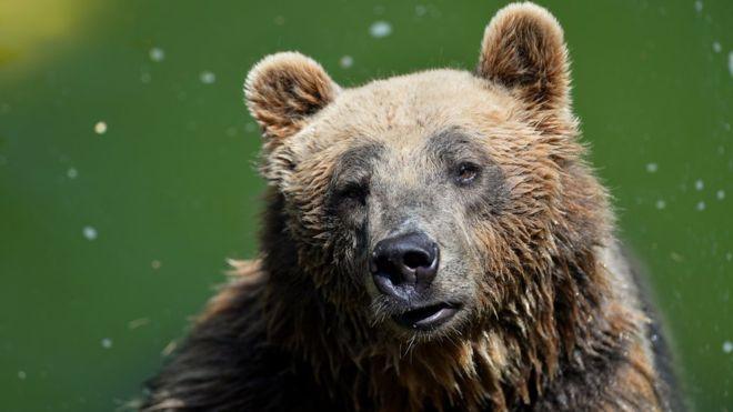 Rear brown bear dies, Bear, Brown, Death, Died, Animal